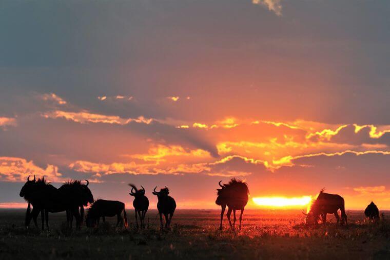 2de grootste migratie van gnoes op Liuwa Plains Zambia