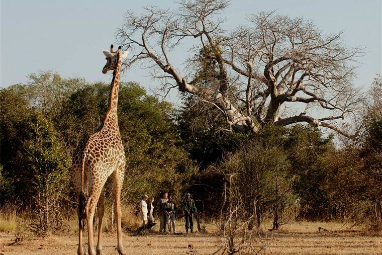 Giraffe tijdens wandel safari South Luangwa National Park Zambia