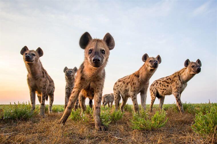 Hyena's op Liuwa Plains Zambia