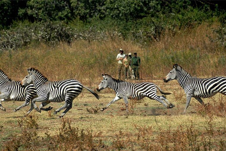 Zebra's tijdens wandel safari in South Luangwa National Park Zambia