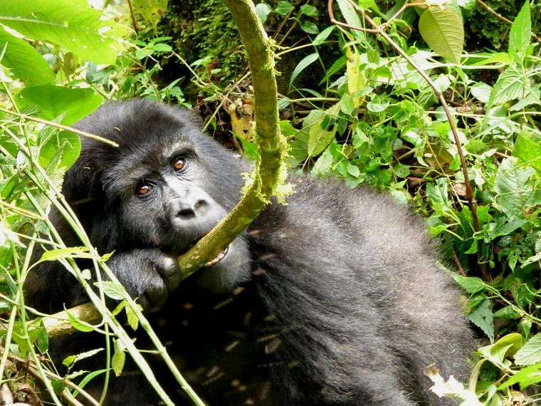 Berggorilla in Bwindi Impentrable National Park Uganda