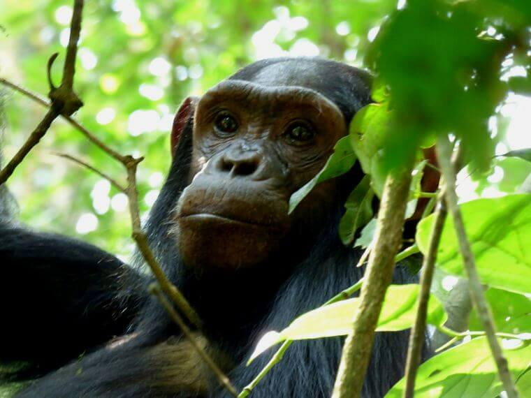 Chimpansee in Kibale Forest Uganda