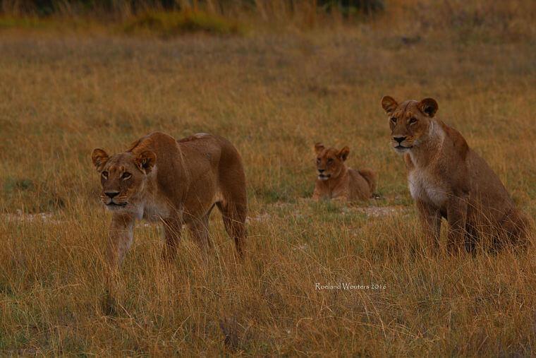 Leeuwen familie Savute Botswana