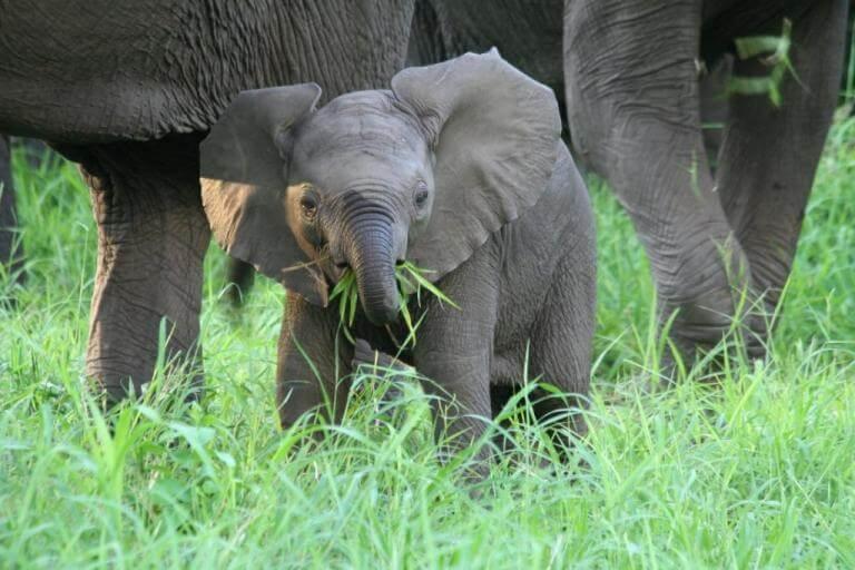 Jonge olifant in Majete Wildlife Reserve Malawi