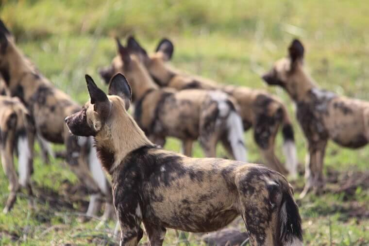 Afrikaanse wilde honden in Khwai Community Area Botswana