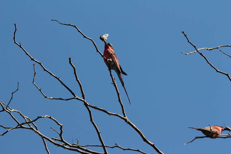 Carmine Bee Eater Okavango Delta Botswana