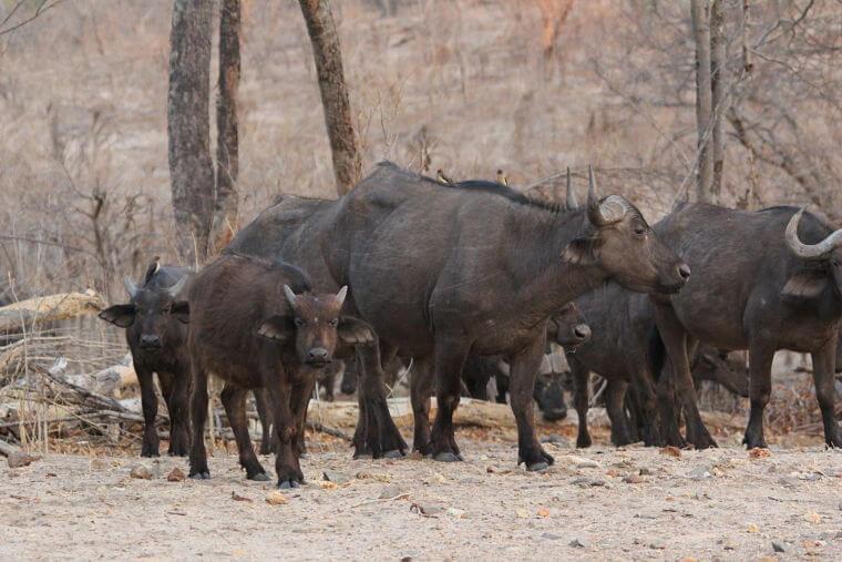 Buffels bij Chobe Riverfront Botswana