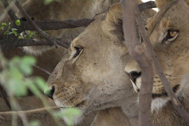 Leeuwen op Savuti Marsh Botswana