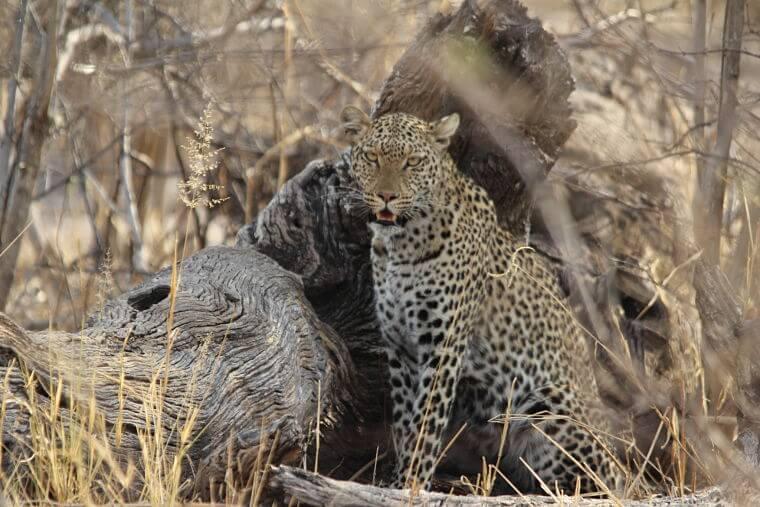 Luipaard in Savute Chobe National Park Botswana