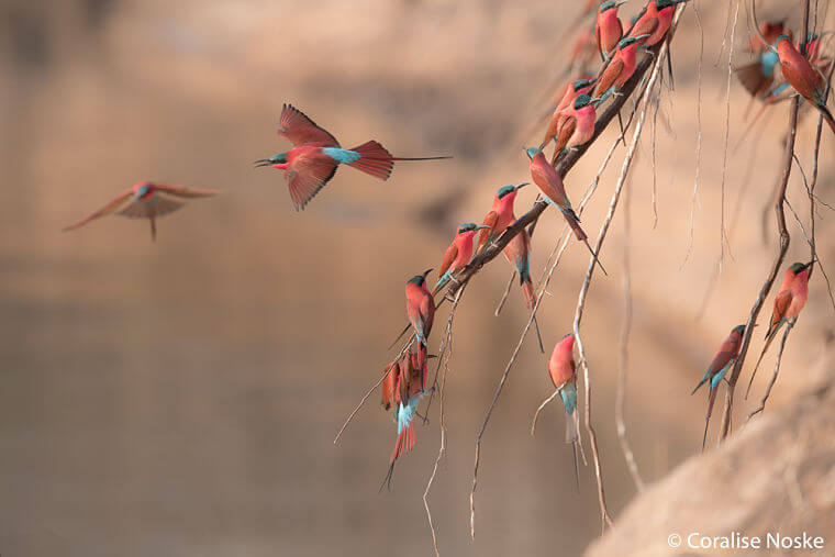 Carmine bee-eaters in South Luangwa National Park Zambia