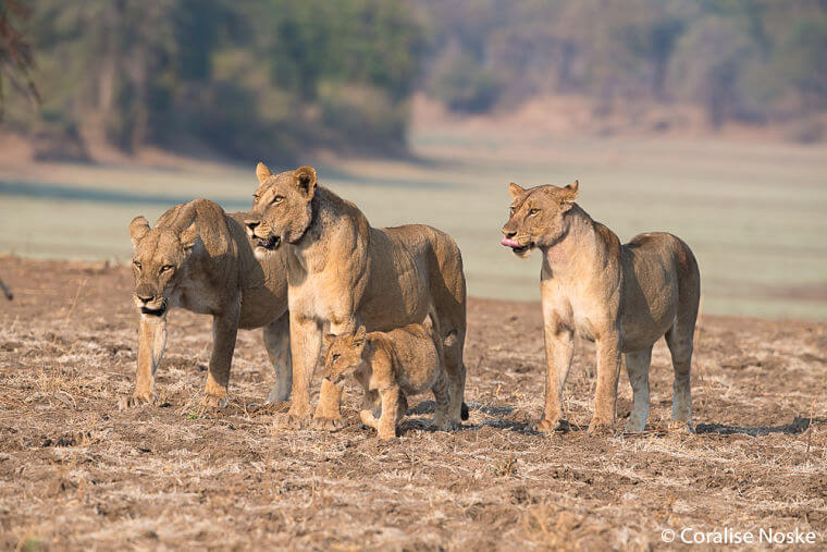Leeuwen familie in South Luangwa National Park Zambia