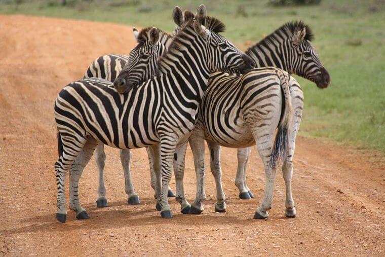 Zebra's in Sabi Sands Wildlife Reserve Zuid-Afrika