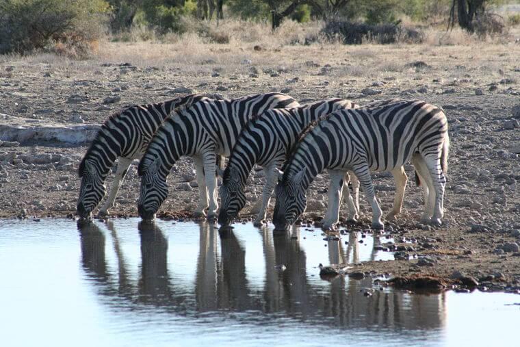 Drinkende zebra's in Etosha Nationaal Park Namibië