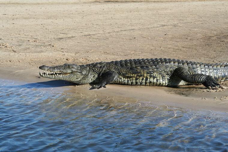 Krokodil in de Okavango rivier Namibië