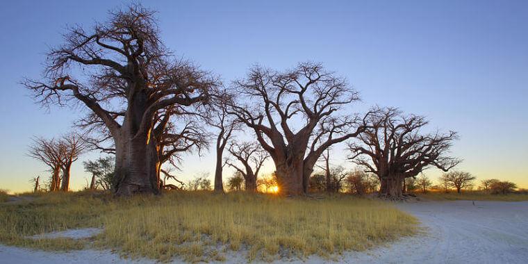 Baines Baobab bij Nxai Pan National Park Botswana
