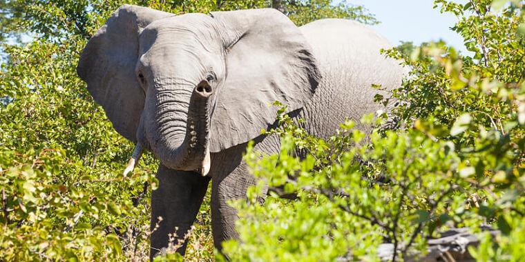 Olifant in Linyanti concessie Botswana