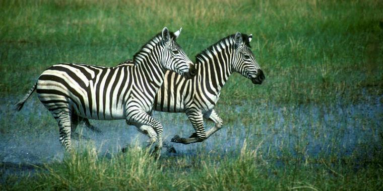 Zebra's bij Linyanti Selinda en Kwando Botswana