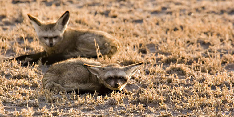 Central Kalahari Game Reserve bat eared foxen Botswana