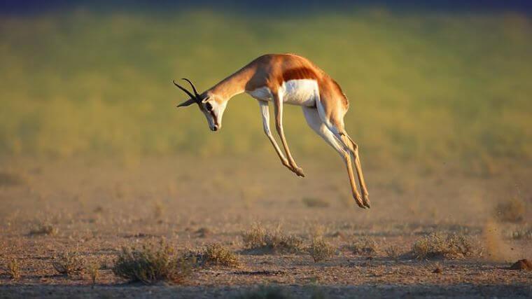 Central Kalahari Game Reserve springbok Botswana