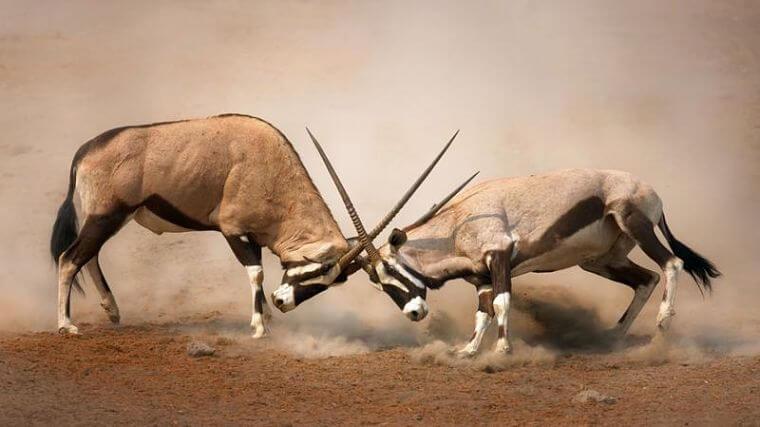 Central Kalahari Game Reserve vechtende gemsbokken Botswana