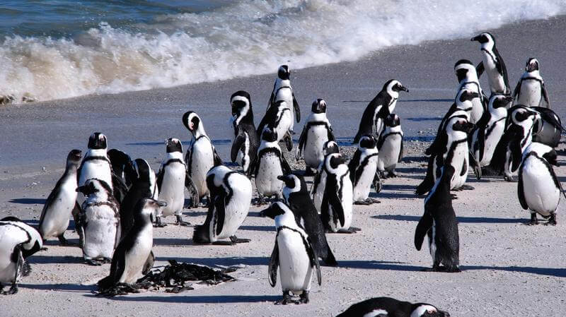 Boulders pinguins bij Boulders Beach Zuid-Afrika