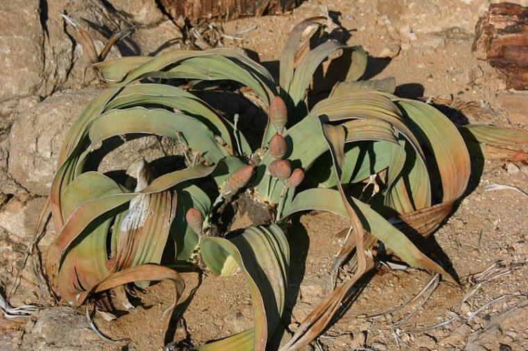 Swakopmund, Welwitschia plant, Namibië