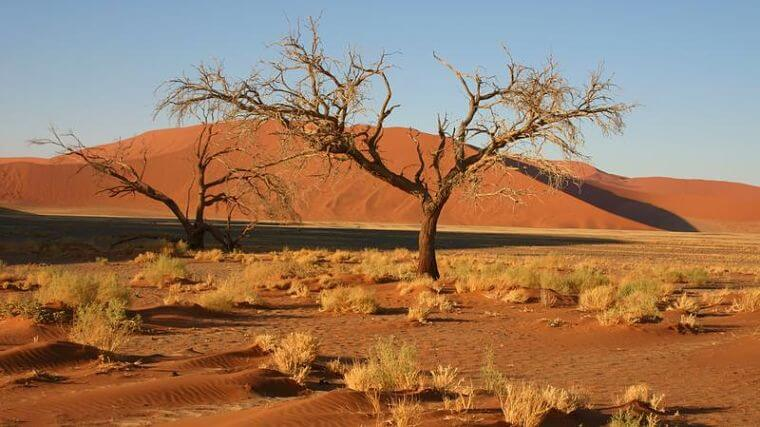 Camel Thorn bij Sossusvlei Namibië