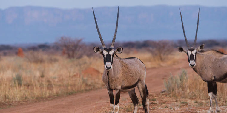 Gemsbokken op Waterberg plateau, Namibië