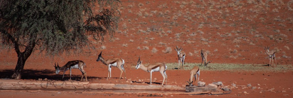 Springbokken in Kalahari Desert Namibië