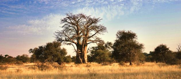 Baobab bij Chingola Zambia