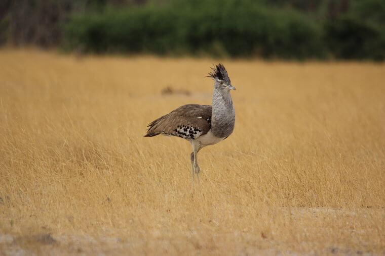 Kori Bustard in Savuti, Botswana