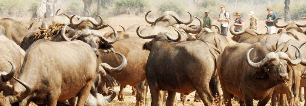 Buffels in Isangano National Park Zambia (@Zambia Daily Mail Limited)