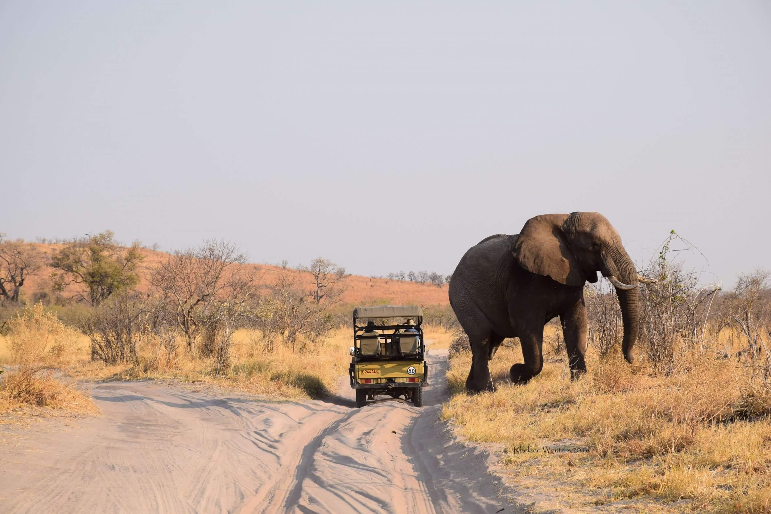 Grote Olifant in Savuti Botswana