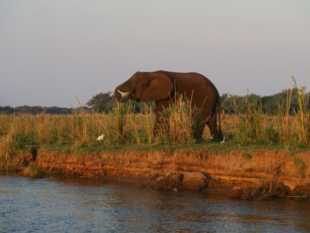 Lower Zambezi National Park olifant aan de waterkant