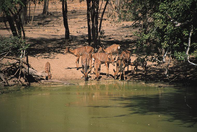 Nyala antilope in Lengwe National Park in Malawi