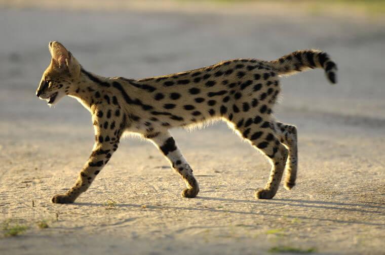 Serval in Mwabvi Wildlife Reserve in Malawi