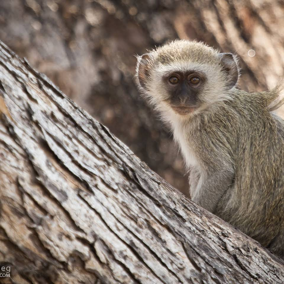 Velvet Monkey in Blue Lagoon National Park Zambia