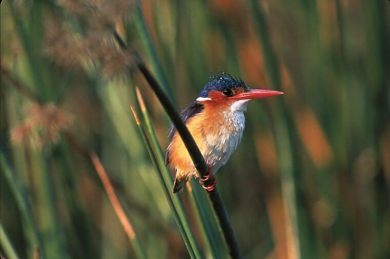 Kafue rivier Malachite Kingfisher, Zambia