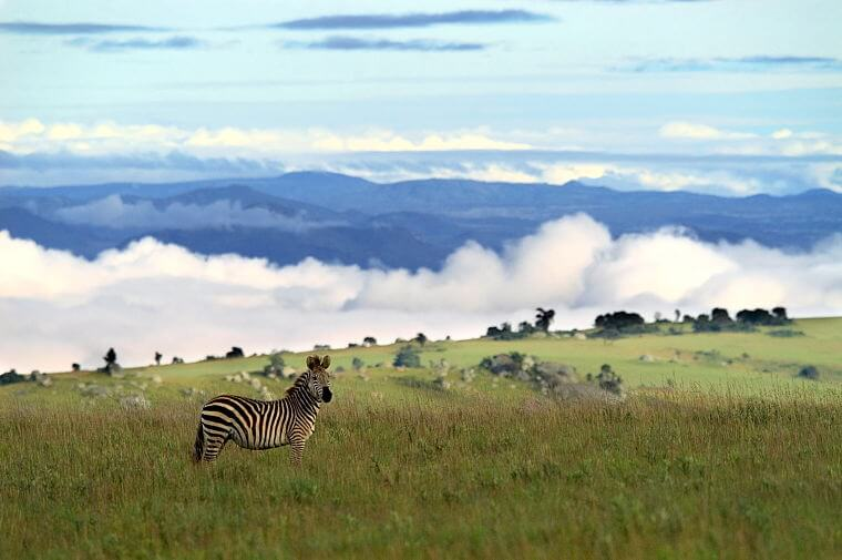 Zebra in Nyika Plateau National Park