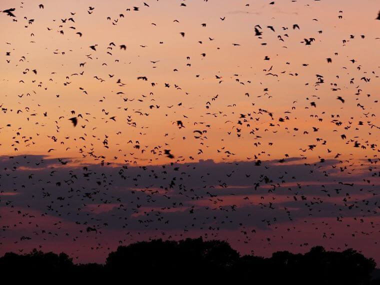 10 miljoen fruit vleermuizen in Kasanka National Park Zambia