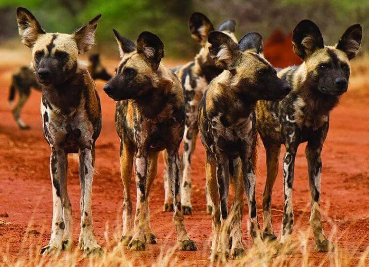 Afrikaanse wilde honden bij Makanyane Safari Lodge Zuid-Afrika