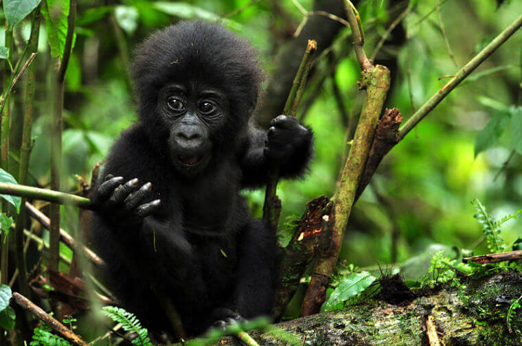 Baby berggorilla in Bwindi Impenetrable National Park