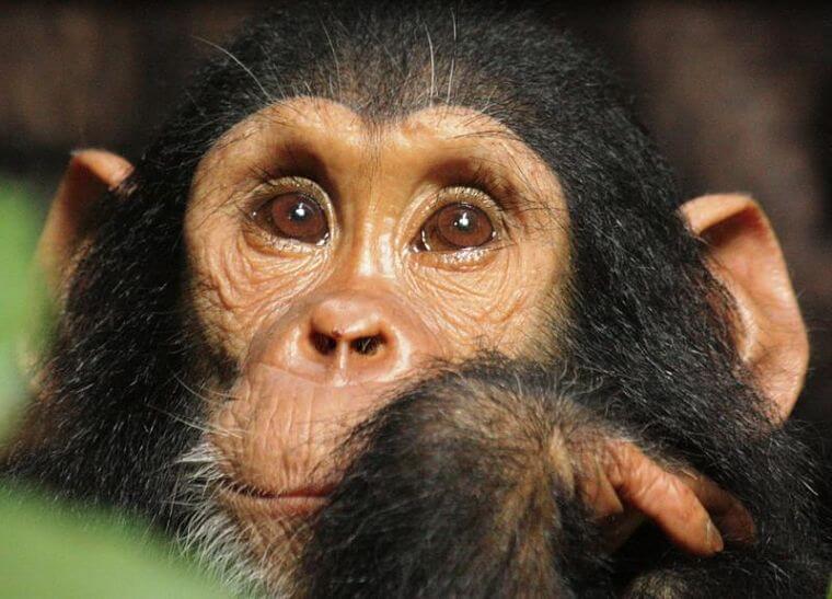 Baby chimpansee in Mahale National Park Tanzania (@ Greystoke Mahale)
