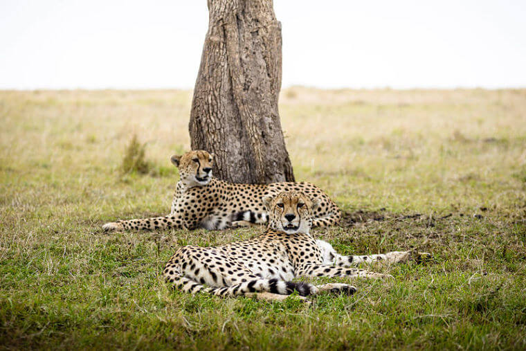 Cheetahs bij Sanctuary Olonana in Masai Mara Kenia