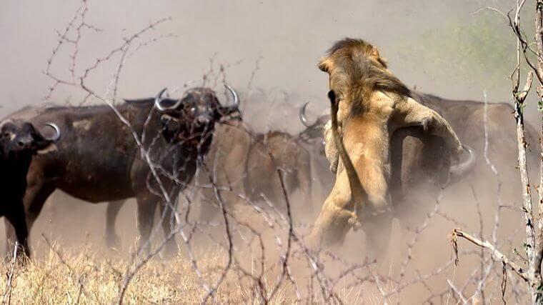 Leeuw bespringt buffel in Sabi Sand Private Game Reserve (@Shane Doyle)