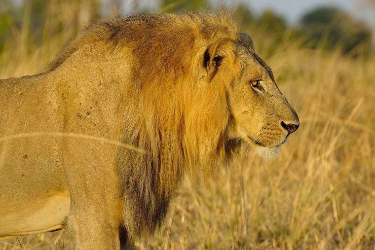 Leeuw bij Zikomo Safari Camp in Nsefu sector Zambia