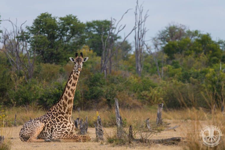 Liggende giraffe in Luangwa vallei Zambia