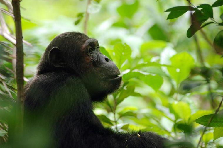 Mahale Mountains National Park Tanzania 50 jaar Japans chimpansee onderzoek