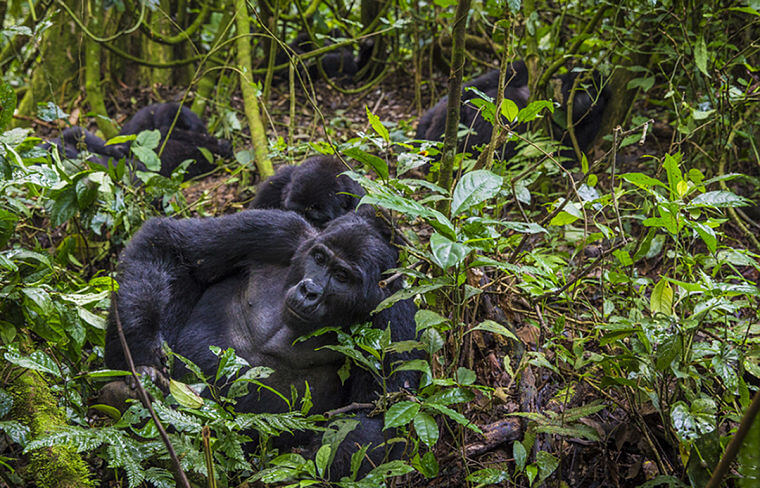 Sanctuary Gorilla Forest Camp berggorillas in Bwindi