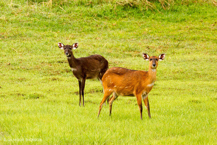 Sitatunga antilopen in Kasanka National Park Zambia